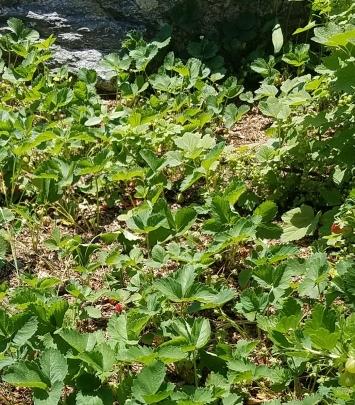 Mosaic Community Strawberries